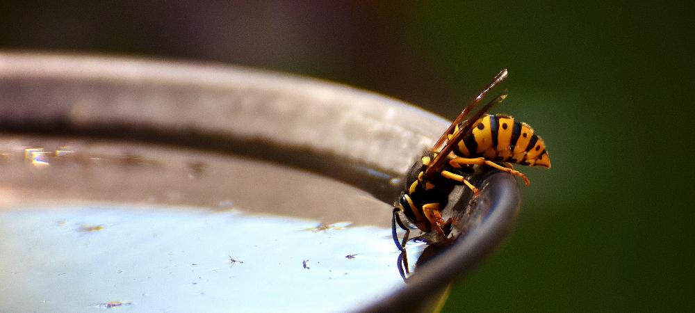 guêpe fronlon abeille